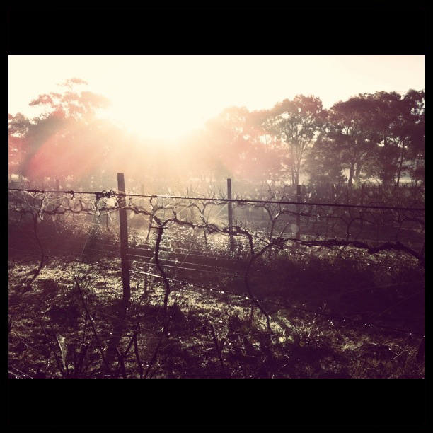 Sunrise through the Vines